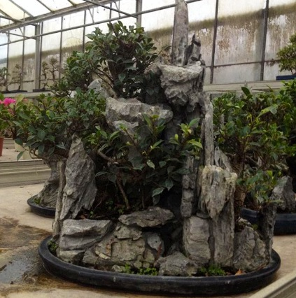 Ficus sur roche
