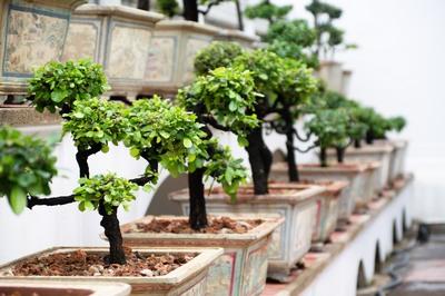 La garde de bonsaï